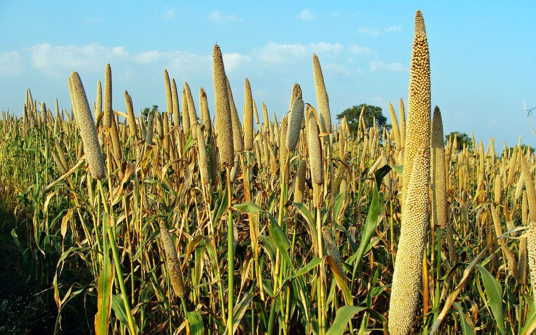 Millet – Wednesdays